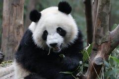 Cara mullida del ` s de la panda del primer, Chengdu, China Imágenes de archivo libres de regalías