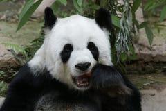 Cara mullida del ` s de la panda del primer, Tailandia Fotos de archivo