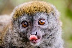 Cara próxima acima do lêmure de bambu que cola sua língua para fora Foto de Stock