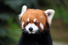 Cara preciosa de una panda marrón Foto de archivo libre de regalías