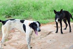 A cara preto e branco do cão, fecha-se acima do cão tailandês, fim tailandês do cão acima foto de stock royalty free