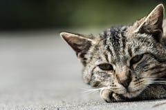 Cara rayada del gato Fotografía de archivo libre de regalías