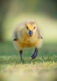 Cara running de Canadá Gosling sobre Foto de Stock