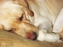 Cara soñolienta 3 del perro Imagen de archivo libre de regalías
