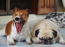 cara soñolienta del perro gordo blanco lindo precioso del barro amasado Fotos de archivo