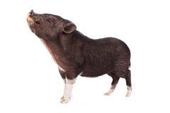 Cara sucia del cerdo Fotos de archivo