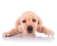 Cara triste de um cão de cachorrinho bonito pequeno de labrador retriever fotos de stock royalty free