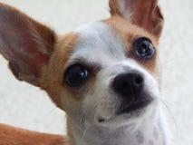 Cara triste del perrito Foto de archivo