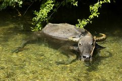 Carabao Stock Images