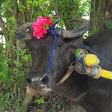 Carabao. A native animal found in the Philippines Stock Photos