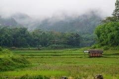 Carabao at rice field toraja Stock Photo
