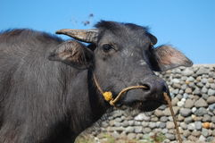 Carabao's face Stock Images