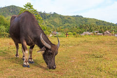 Carabao or Water Buffalo in Nacpan, Philippines Royalty Free Stock Photos