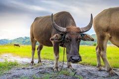 Carabao or Water Buffalo Stock Images