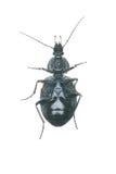 Carabidae Stock Image