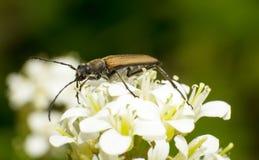 Carabidae Royalty Free Stock Images