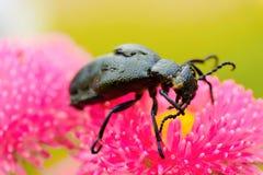 Carabidae Royalty-vrije Stock Fotografie