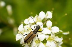 Carabidae and flowers Stock Photo