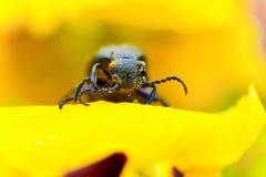 Carabidae Stock Photo