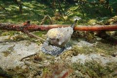 Caraïbische overzeese van de kroonkroonslak slak Melongena Royalty-vrije Stock Afbeeldingen