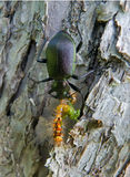 Carabus 22 royalty free stock images