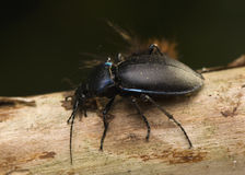 Carabus Stock Photography