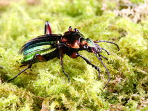 Carabus auratus the Gardener's Friend. The iridescent green Carabus auratus is a flightless insectivorous ground beetle welcomed by gardeners and farmers as it Stock Image