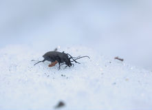 Carabus Beetle In Snow Stock Photo
