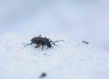 Carabus Beetle In Snow Stock Photo