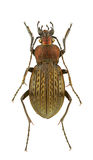 Carabus cancellatus Stock Photos