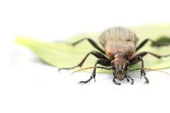 Carabus cancellatus (copper color bug) Stock Photos