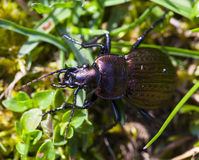 Carabus cancellatus. In the grass from the detail Stock Images