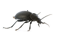 Carabus coriaceus Stock Photos