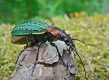 Carabus de Schrenck do besouro Imagem de Stock Royalty Free