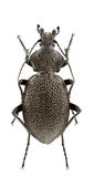 Carabus gigas Stock Photo