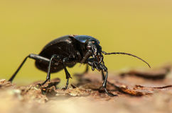 Carabus glabratus Royalty Free Stock Photography