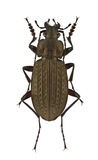 Carabus granulatus Royalty Free Stock Images