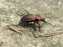 Carabus granulatus Royalty Free Stock Photo