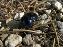 Carabus, ground beetle on stone Stock Photos