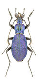 Carabus intricatus Royalty Free Stock Photography