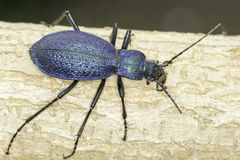 Carabus intricatus / the blue ground bettle in natural habitat Stock Photography
