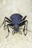 Carabus intricatus / the blue ground bettle in natural habitat Royalty Free Stock Image