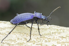 Carabus intricatus / the blue ground bettle in natural habitat Royalty Free Stock Photography