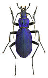 Carabus intricatus ground beetle Royalty Free Stock Photos