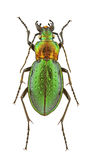Carabus obsoletus Stock Photos