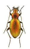 Carabus obsoletus Stock Photo