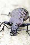 Carabus ulrichii / ground beetle  in natural habitat Stock Photography