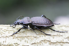 Carabus ulrichii / ground beetle  in natural habitat Stock Image