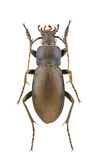 Carabus violaceus Royalty Free Stock Photo