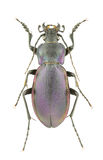 Carabus violaceus piceneus Stock Photo